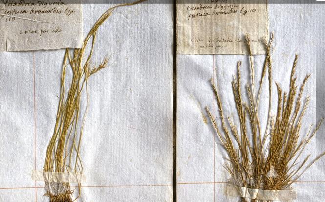 Page d'herbier ayant  appartenu à Rousseau.png