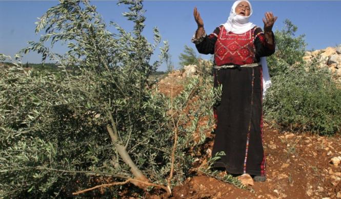 destruction d'oliviers palestiniens 1 .png