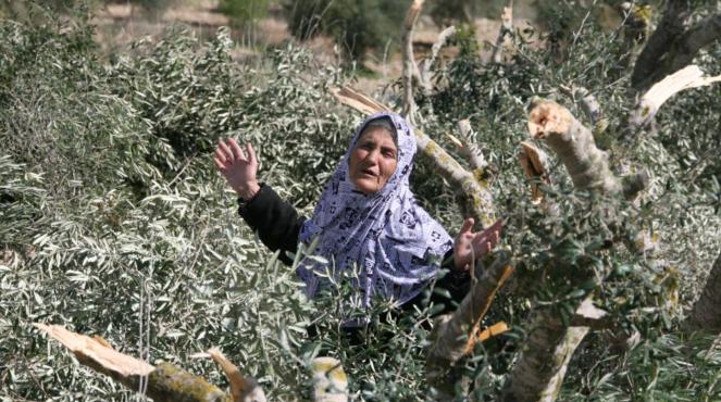 destruction d'oliviers palestiniens 2.png